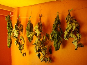 Wildcrafted Nettle and Raspberry Leaf drying in my kitchen last summer