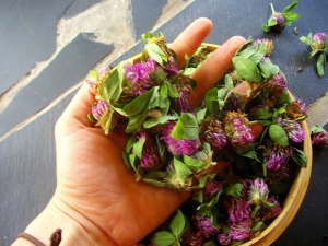 handfulls of freshly picked red clover for my Mountain Mama blend
