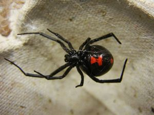 The distinctive red hour-glass on the abdomen of an adult female Black Widow