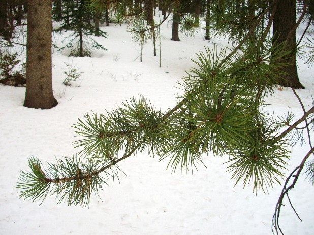 Evergreen in the depths of winter