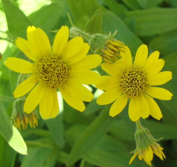 Arnica grows in large patches on well-drained high-altitude mountain slopes and open fields