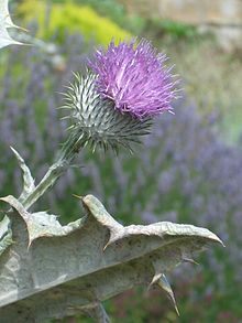 Cotton thistle from https://en.wikipedia.org/wiki/Onopordum_acanthium#cite_note-15