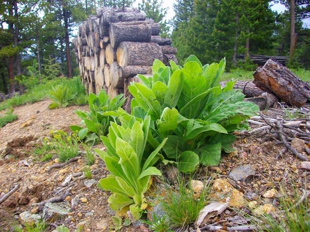 Colorado mullein before flowering