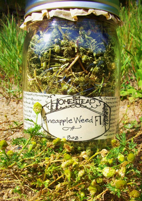 This jar of ethically, beautifully and lovingly wildcrafted Pineapple Weed is going to my friends at Very Nice Brewing Co. They thought it would make an interesting ale...